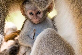 Baby vervet monkey protected by mother, Lake Nakuru