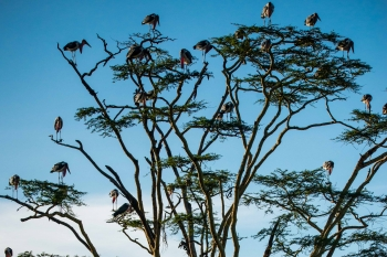 Storks resting in tree, Serengeti