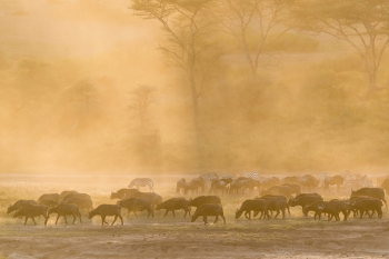 Buffalos grazing in afternoon light, Lake Ndutu