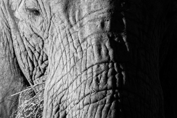 Portrait of elephant, Serengeti