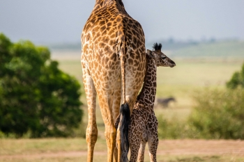 Mother and baby giraffe in the Masai Mara