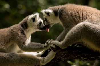 Loving lemurs, South Africa