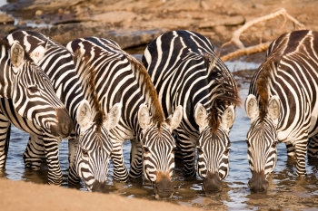 Alert zebras drinking from a stream in the Masai Mara
