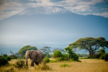 Elephant with Kilimanjaro in the background