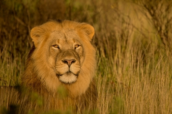 Lion basking in the morning sun in Scotia NP